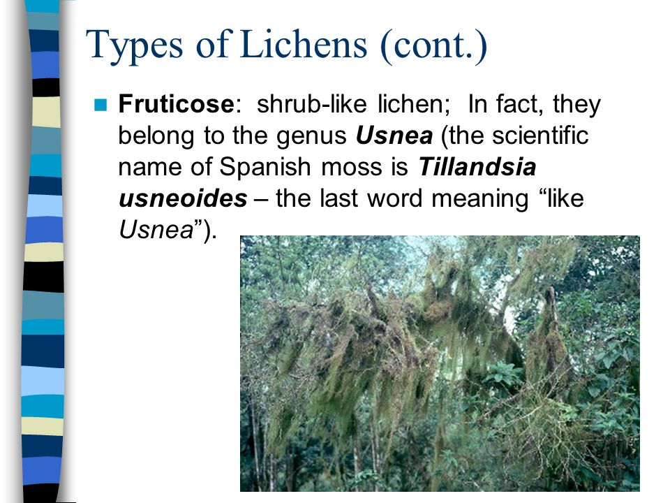 Types of Lichens (cont.) Fruticose: shrub-like lichen; In fact, they belong to the genus Usnea (the scientific name of Spanish moss is Tillandsia usne
