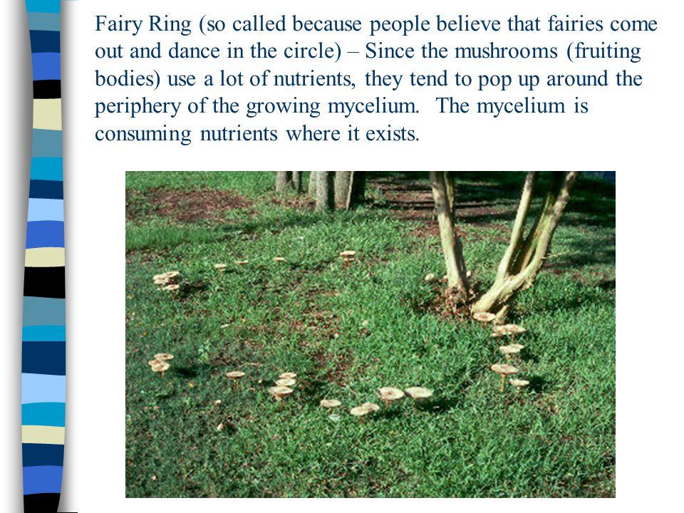 Bracket Fungi, Belize.