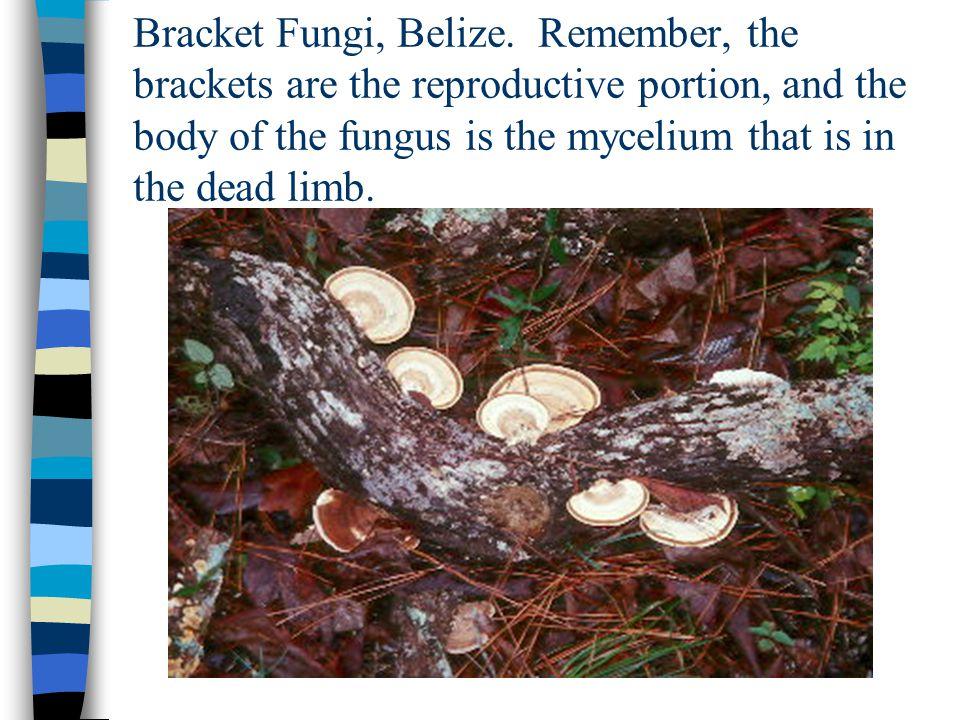 Shelf Fungi – Cockscomb.