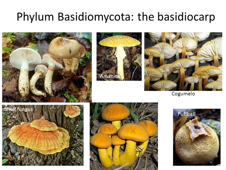 Phylum Basidiomycota: the basidiocarp Shelf fungus Puffball Amanita Cogumelo