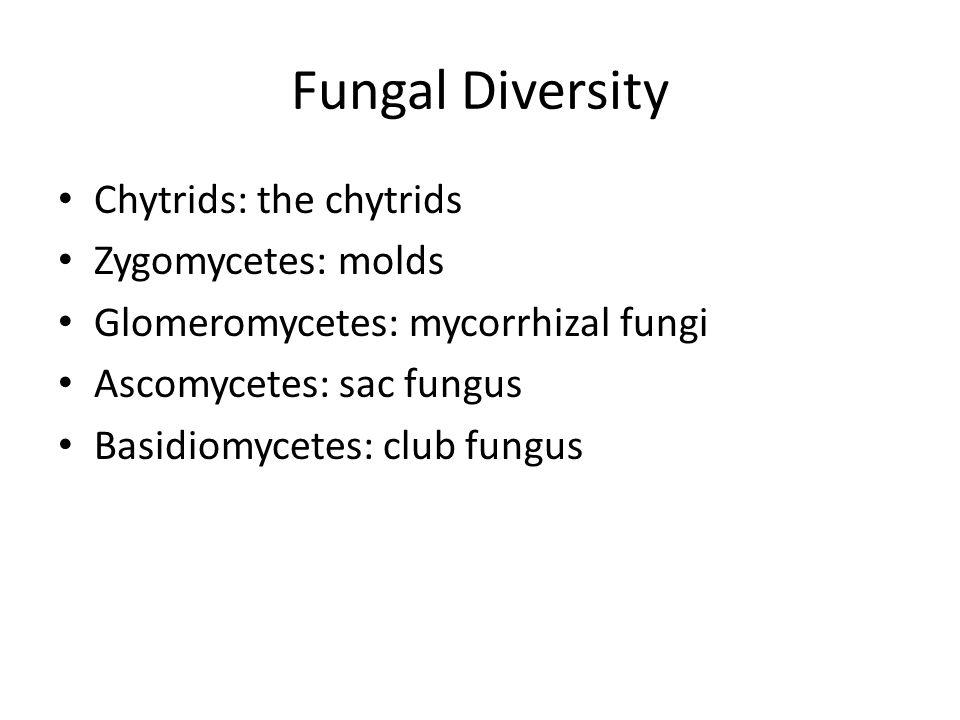 Fungal Diversity Chytrids: the chytrids Zygomycetes: molds Glomeromycetes: mycorrhizal fungi Ascomycetes: sac fungus Basidiomycetes: club fungus