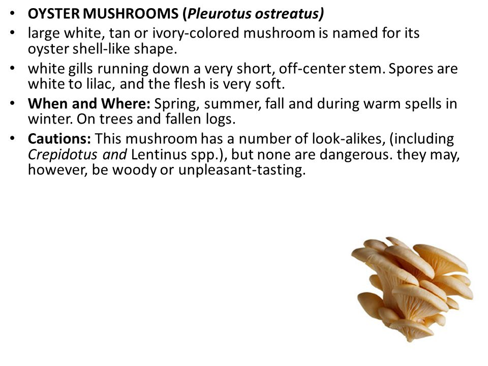 OYSTER MUSHROOMS (Pleurotus ostreatus) large white, tan or ivory-colored mushroom is named for its oyster shell-like shape.