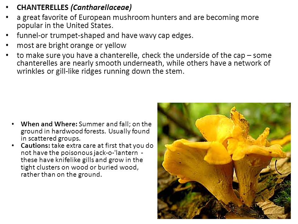 CHANTERELLES (Cantharellaceae) a great favorite of European mushroom hunters and are becoming more popular in the United States.
