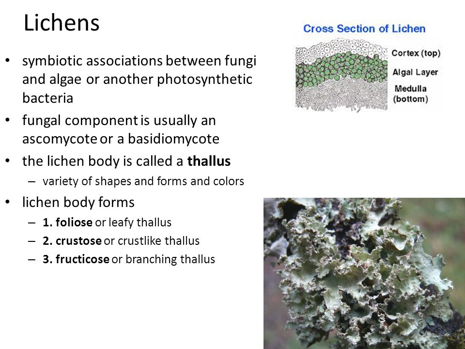Lichens symbiotic associations between fungi and algae or another photosynthetic bacteria fungal component is usually an ascomycote or a basidiomycote the lichen body is called a thallus – variety of shapes and forms and colors lichen body forms – 1.