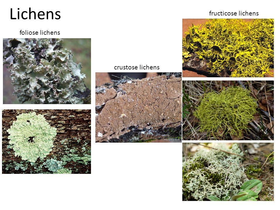 Lichens foliose lichens fructicose lichens crustose lichens
