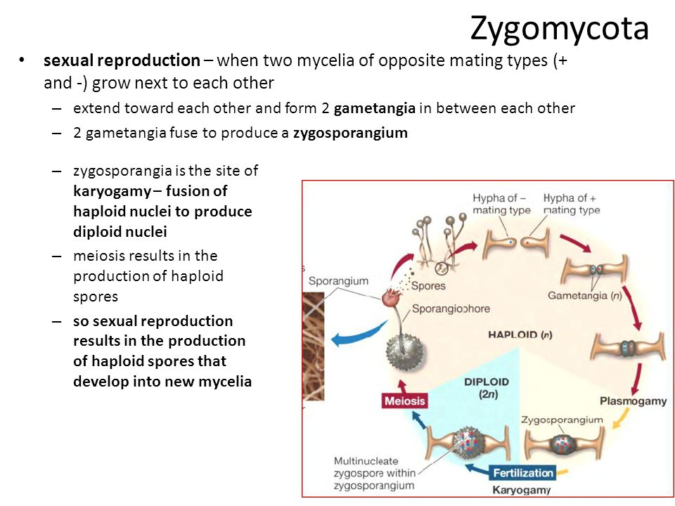 Zygomycota progression of zygomycota gametangia into zygosporangium (with zygospores)