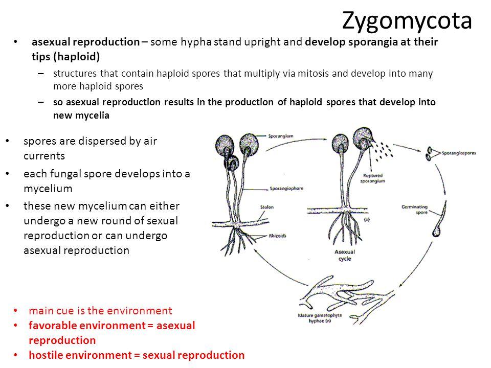 Phylum Zygomycota Zygosporangia