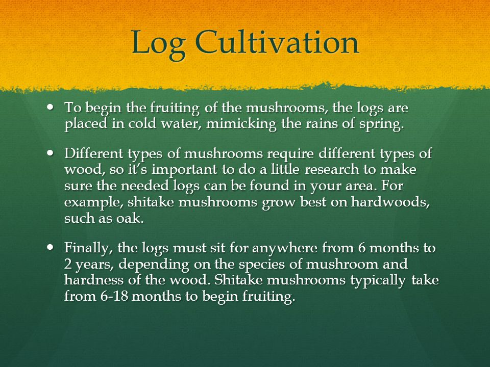 Log Cultivation To begin the fruiting of the mushrooms, the logs are placed in cold water, mimicking the rains of spring.