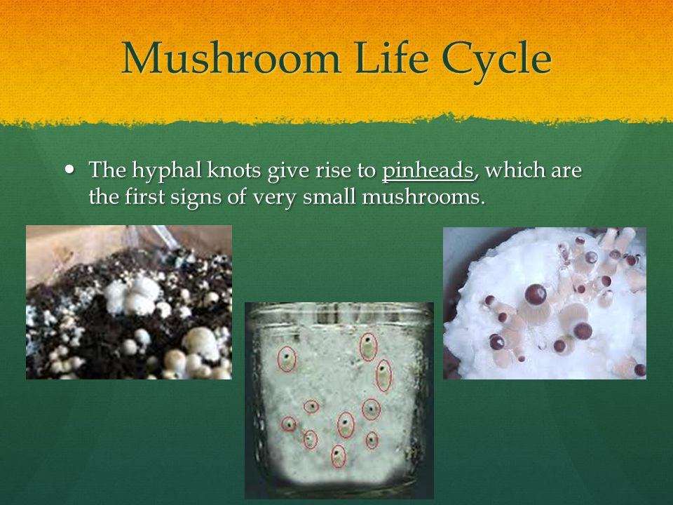 Mushroom Life Cycle The hyphal knots give rise to pinheads, which are the first signs of very small mushrooms. The hyphal knots give rise to pinheads,