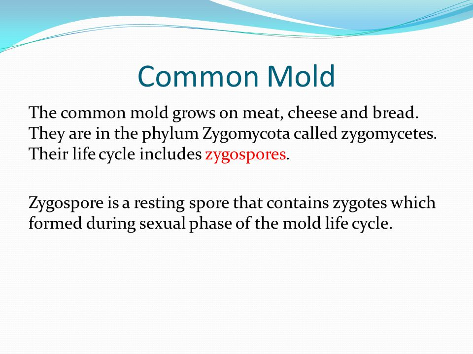 Common Mold The common mold grows on meat, cheese and bread. They are in the phylum Zygomycota called zygomycetes. Their life cycle includes zygospore