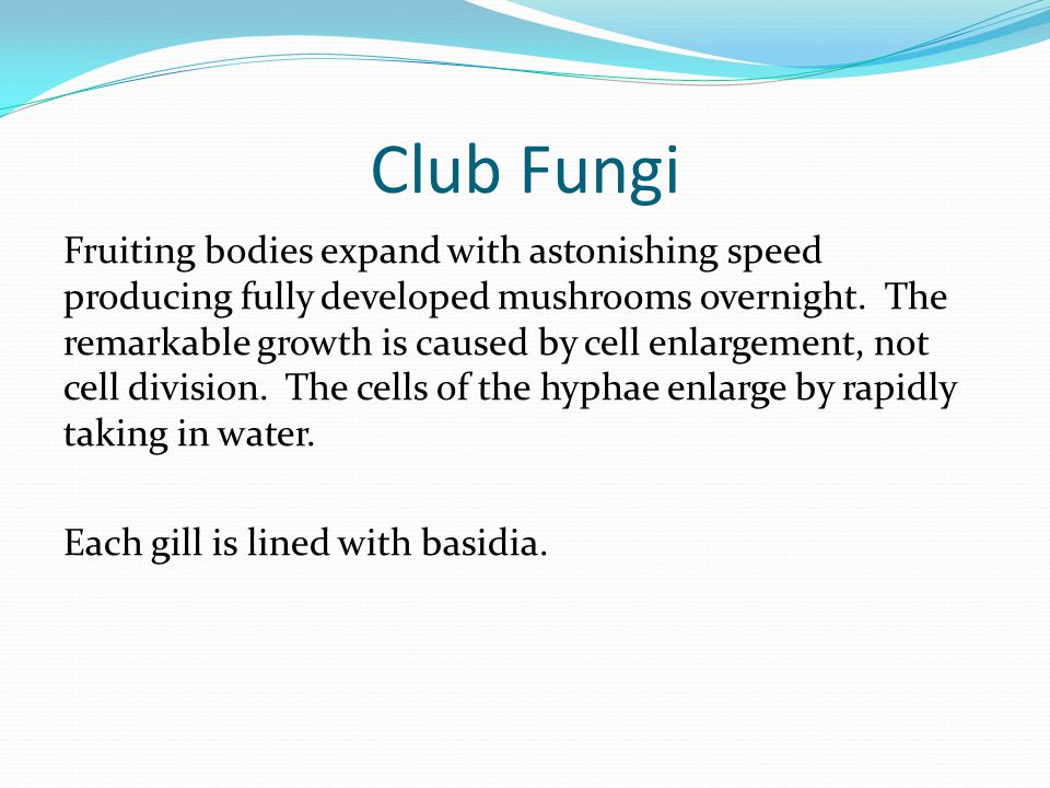 Club Fungi Fruiting bodies expand with astonishing speed producing fully developed mushrooms overnight. The remarkable growth is caused by cell enlarg