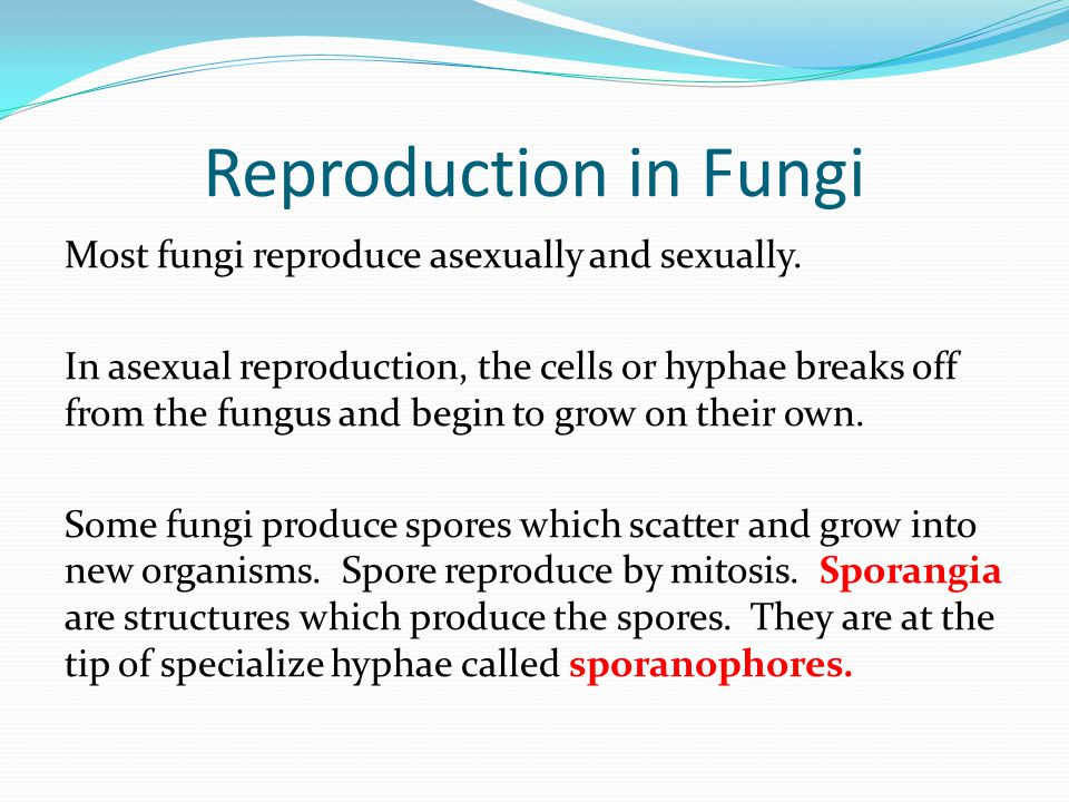 Reproduction in Fungi Most fungi reproduce asexually and sexually. In asexual reproduction, the cells or hyphae breaks off from the fungus and begin t