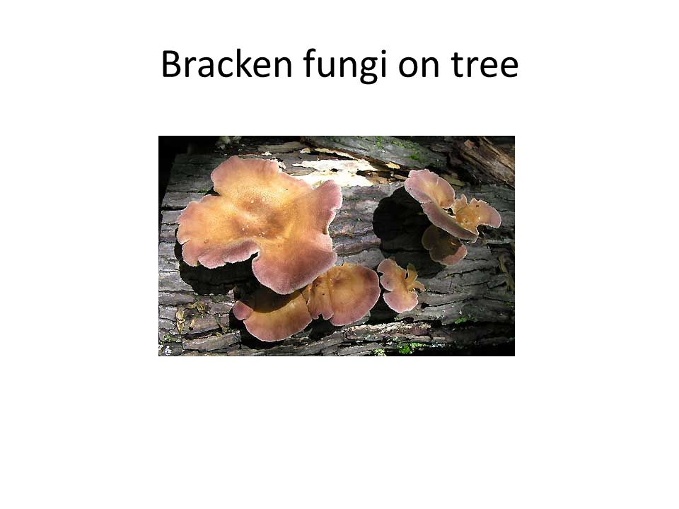 Bracken fungi on tree