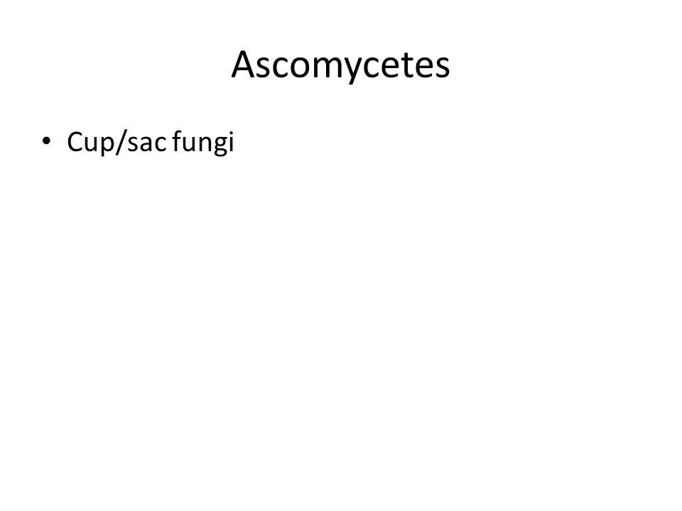 Ascomycetes Cup/sac fungi
