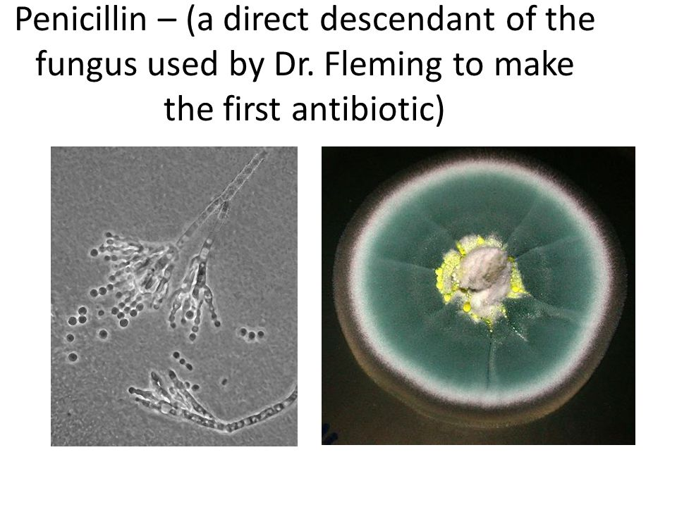 Penicillin – (a direct descendant of the fungus used by Dr. Fleming to make the first antibiotic)
