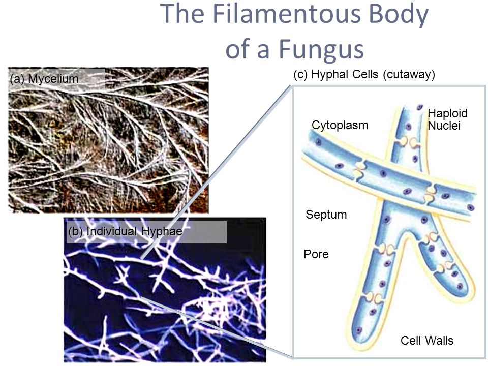 The Filamentous Body of a Fungus (a) Mycelium (b) Individual Hyphae (c) Hyphal Cells (cutaway) Cell Walls Septum Pore Cytoplasm Haploid Nuclei