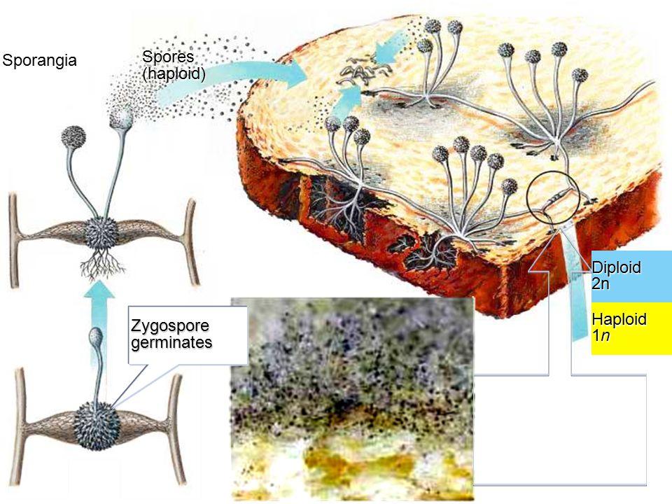 Zygospore germinates Sporangia Spores (haploid) Haploid 1n Diploid2n