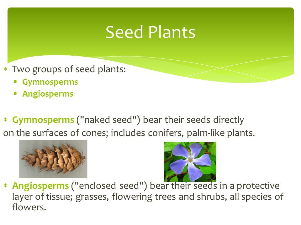  Two groups of seed plants:  Gymnosperms  Angiosperms  Gymnosperms (