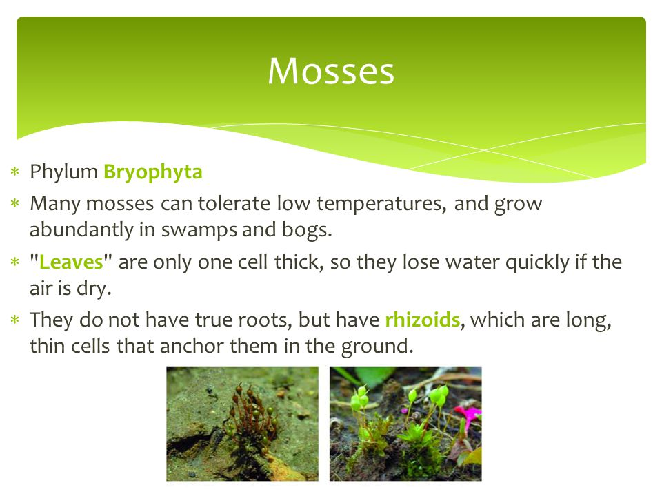  Phylum Bryophyta  Many mosses can tolerate low temperatures, and grow abundantly in swamps and bogs. 