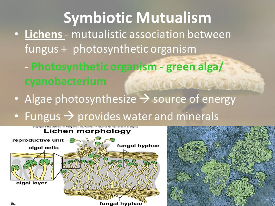 Symbiotic Mutualism Lichens - mutualistic association between fungus + photosynthetic organism - Photosynthetic organism - green alga/ cyanobacterium