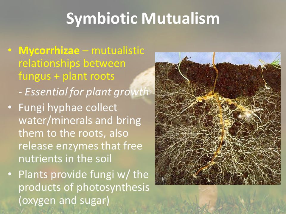 Symbiotic Mutualism Mycorrhizae – mutualistic relationships between fungus + plant roots - Essential for plant growth Fungi hyphae collect water/miner