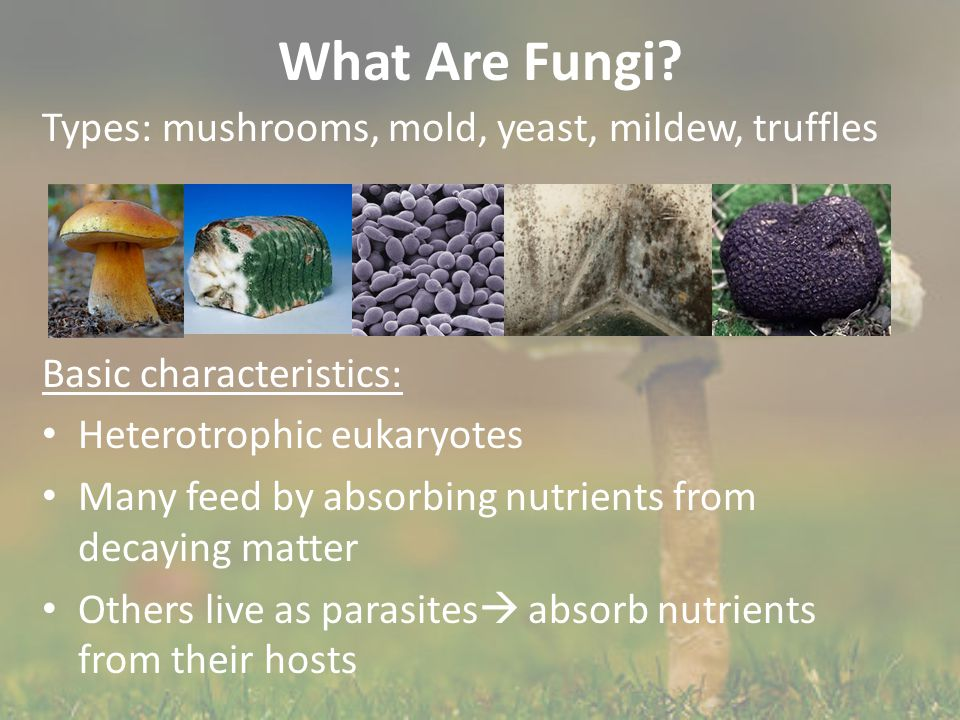 What Are Fungi? Types: mushrooms, mold, yeast, mildew, truffles Basic characteristics: Heterotrophic eukaryotes Many feed by absorbing nutrients from