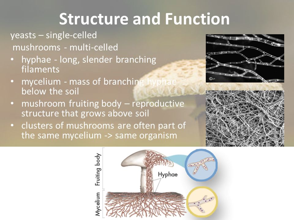 Symbiotic Mutualism Mycorrhizae – mutualistic relationships between fungus + plant roots - Essential for plant growth Fungi hyphae collect water/minerals and bring them to the roots, also release enzymes that free nutrients in the soil Plants provide fungi w/ the products of photosynthesis (oxygen and sugar)