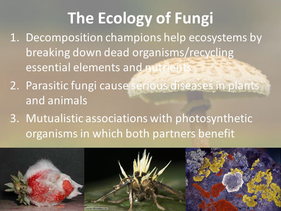 The Ecology of Fungi 1.Decomposition champions help ecosystems by breaking down dead organisms/recycling essential elements and nutrients 2.Parasitic