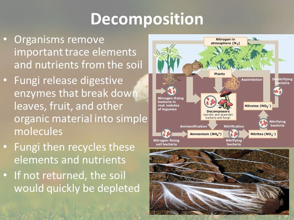 Decomposition Organisms remove important trace elements and nutrients from the soil Fungi release digestive enzymes that break down leaves, fruit, and