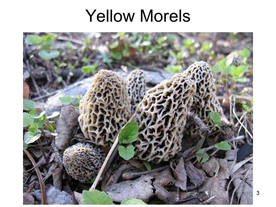 Yellow Morels 3