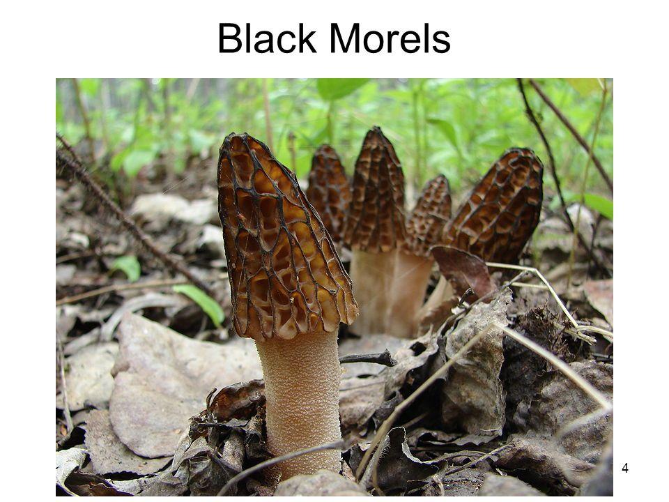 Black Morels 4