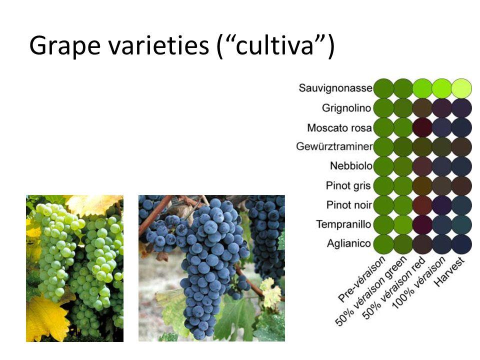 Grape varieties ( cultiva )