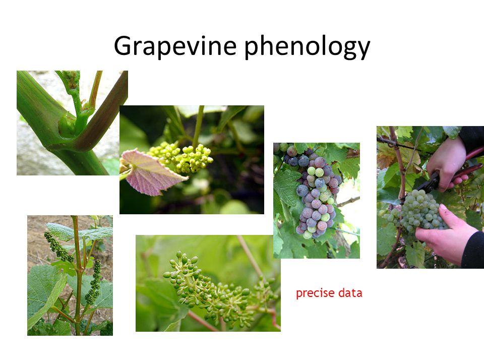 Grapevine phenology precise data