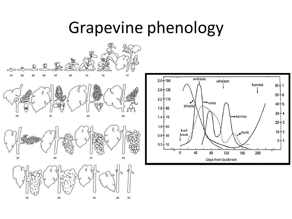 Grapevine phenology