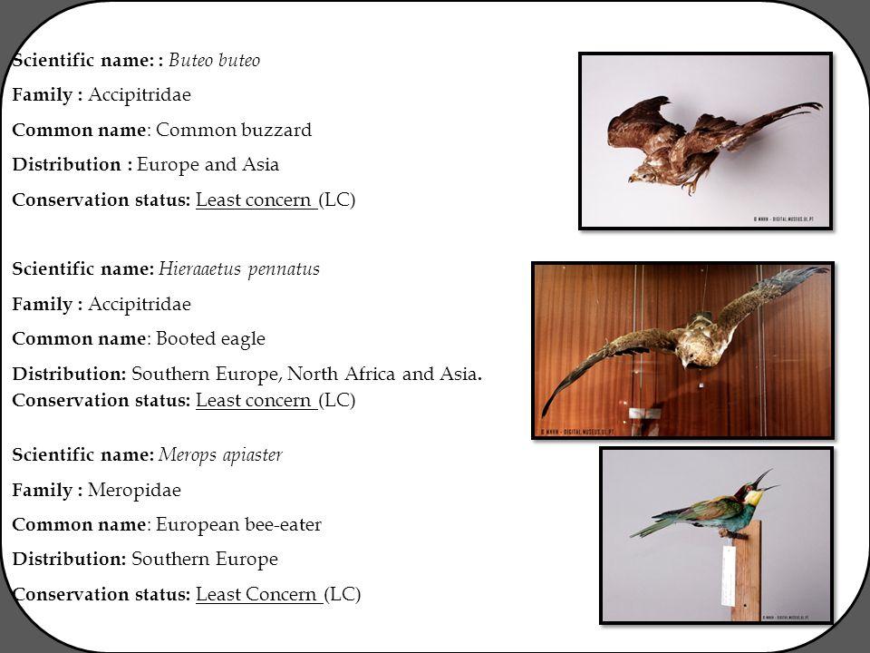 Scientific name: : Buteo buteo Family : Accipitridae Common name : Common buzzard Distribution : Europe and Asia Conservation status: Least concern (L