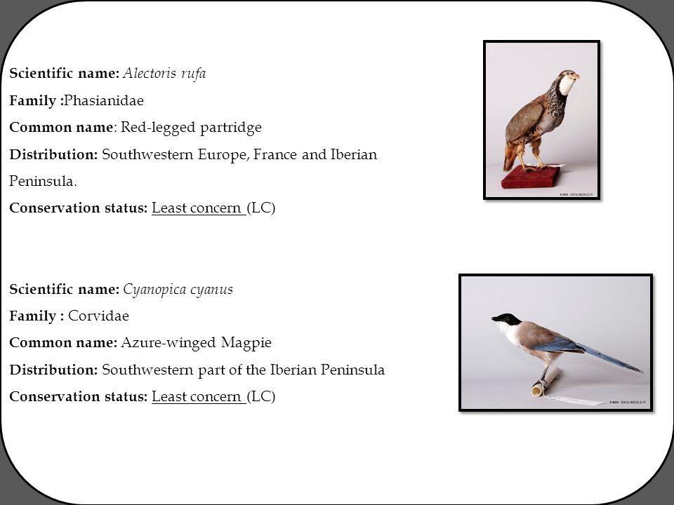 Scientific name: Alectoris rufa Family : Phasianidae Common name : Red-legged partridge Distribution: Southwestern Europe, France and Iberian Peninsul