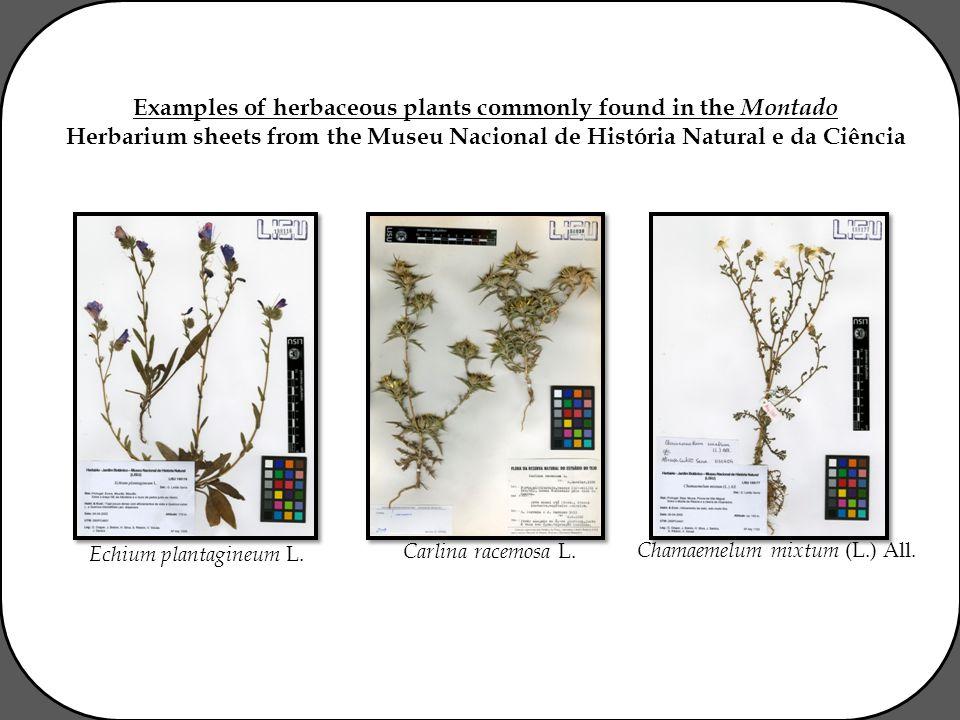 Examples of herbaceous plants commonly found in the Montado Herbarium sheets from the Museu Nacional de História Natural e da Ciência Echium plantagineum L.