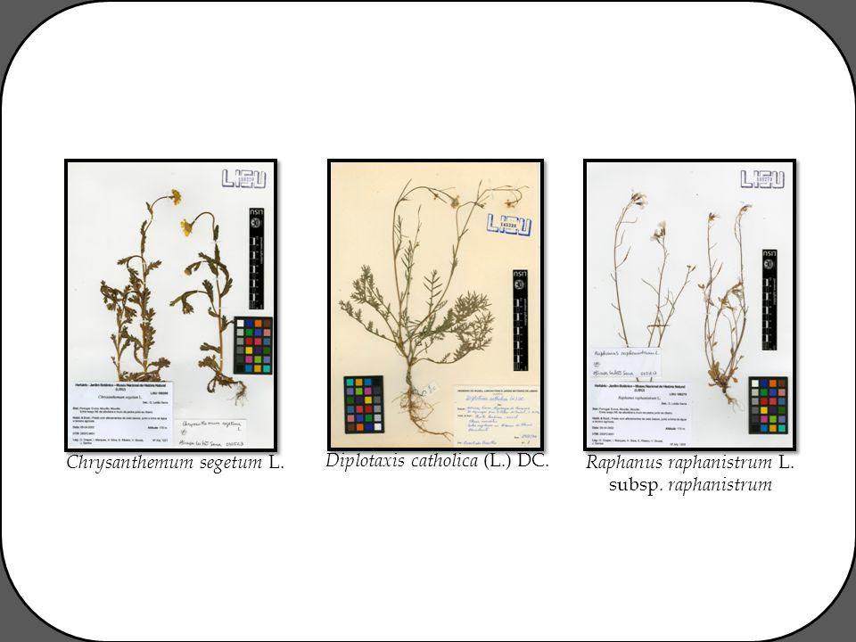 Chrysanthemum segetum L. Diplotaxis catholica (L.) DC. Raphanus raphanistrum L. subsp. raphanistrum