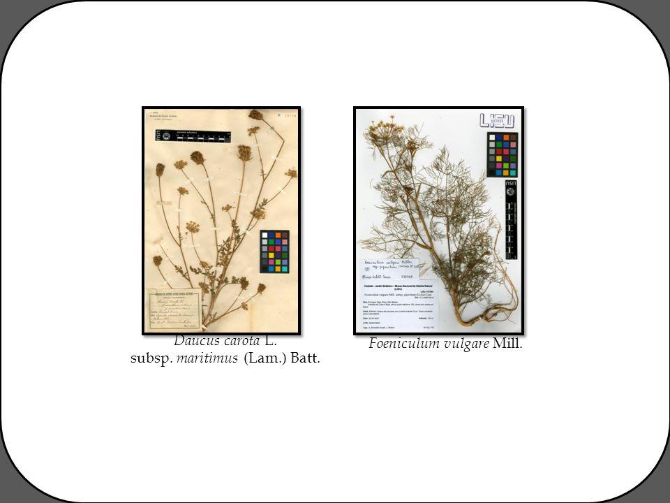 Foeniculum vulgare Mill. Daucus carota L. subsp. maritimus (Lam.) Batt.