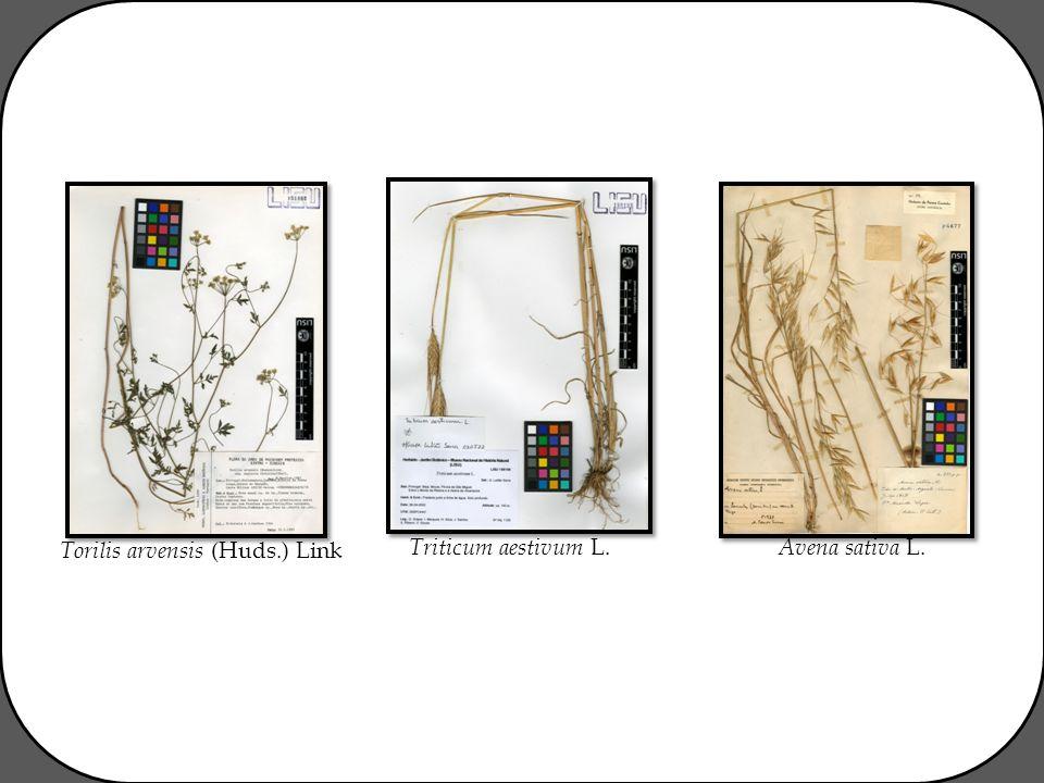 Triticum aestivum L. Avena sativa L. Torilis arvensis (Huds.) Link