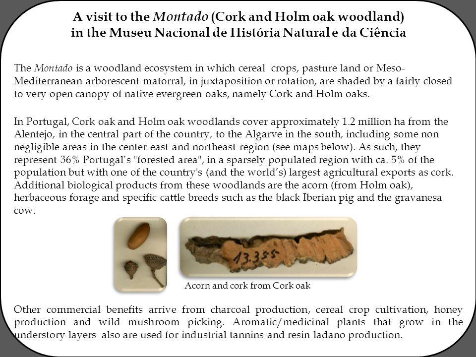 A visit to the Montado (Cork and Holm oak woodland) in the Museu Nacional de História Natural e da Ciência The Montado is a woodland ecosystem in whic