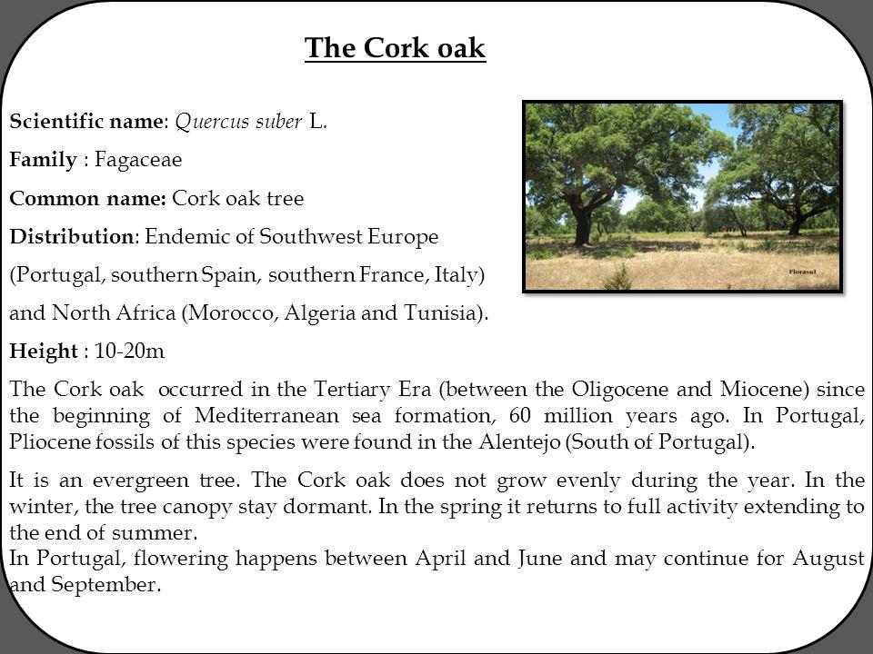 The Cork oak Scientific name : Quercus suber L.