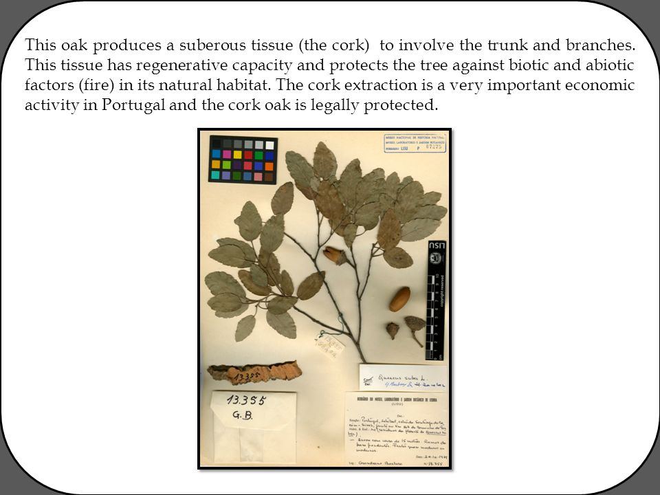 This oak produces a suberous tissue (the cork) to involve the trunk and branches. This tissue has regenerative capacity and protects the tree against