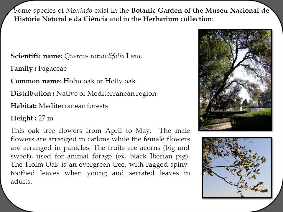 Some species of Montado exist in the Botanic Garden of the Museu Nacional de História Natural e da Ciência and in the Herbarium collection : Scientific name: Quercus rotundifolia Lam.