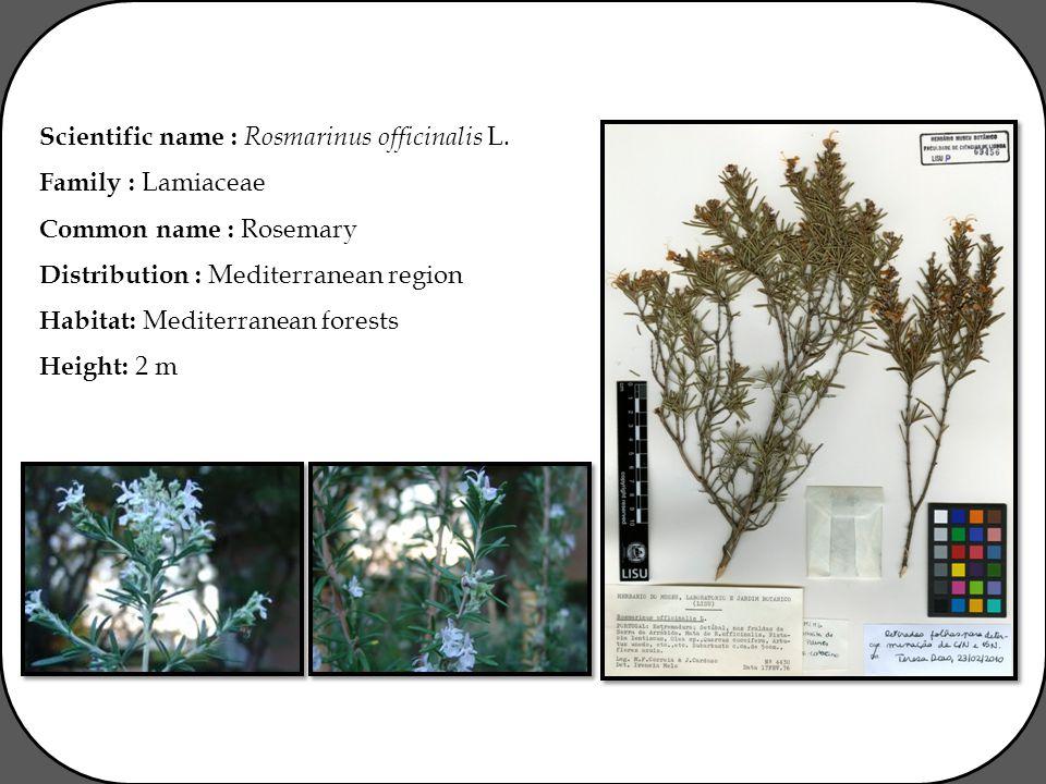 Scientific name : Rosmarinus officinalis L.