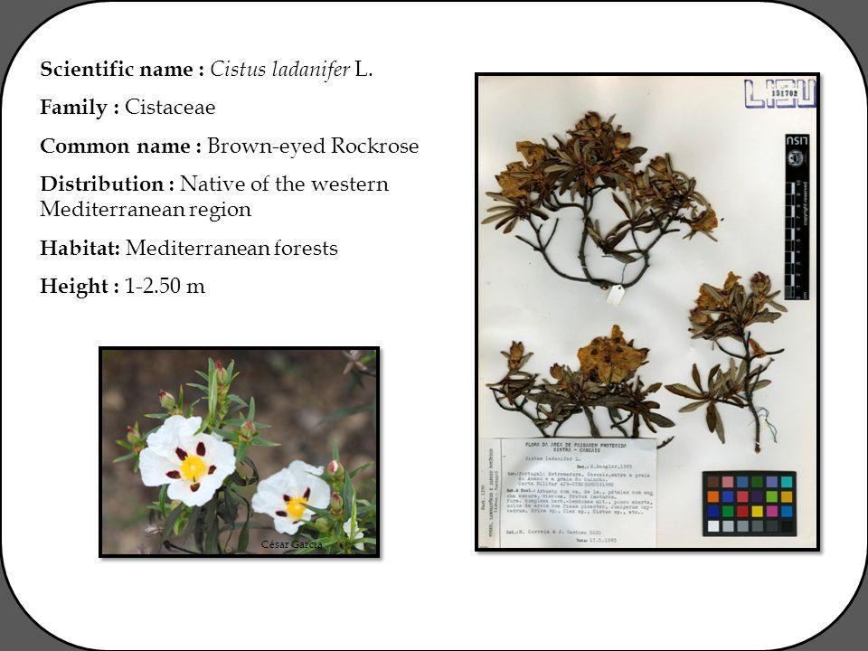 César Garcia Scientific name : Cistus ladanifer L.