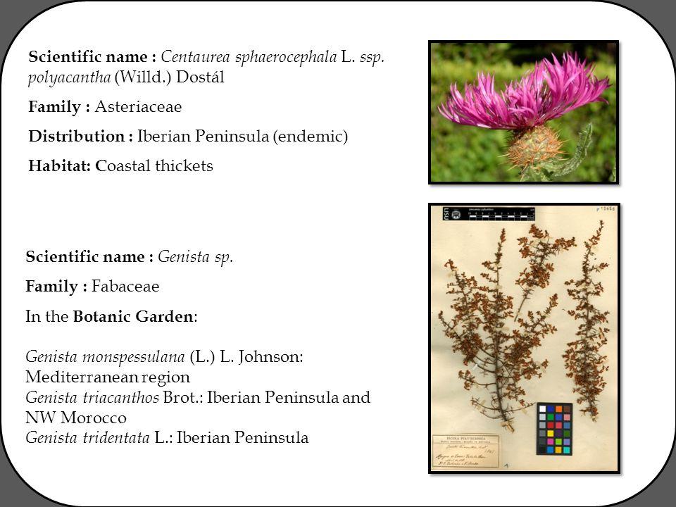 Scientific name : Centaurea sphaerocephala L. ssp.