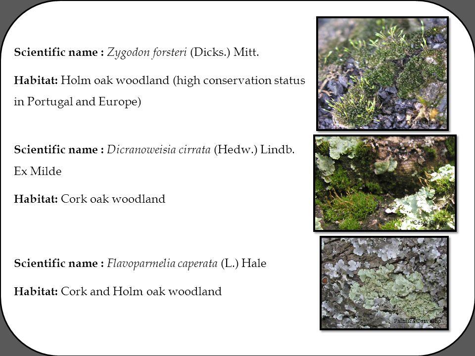 César Garcia Palmira Carvalho Scientific name : Zygodon forsteri (Dicks.) Mitt.