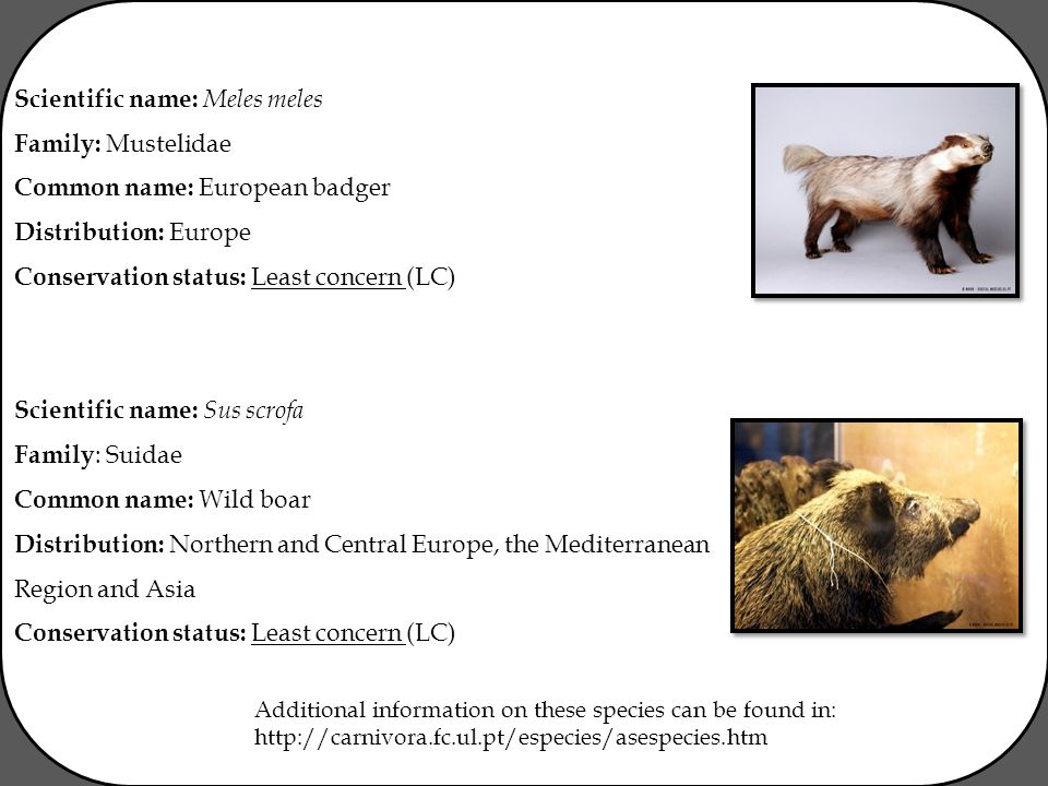 Scientific name: Meles meles Family: Mustelidae Common name: European badger Distribution: Europe Conservation status: Least concern (LC) Scientific name: Sus scrofa Family : Suidae Common name: Wild boar Distribution: Northern and Central Europe, the Mediterranean Region and Asia Conservation status: Least concern (LC) Additional information on these species can be found in: http://carnivora.fc.ul.pt/especies/asespecies.htm