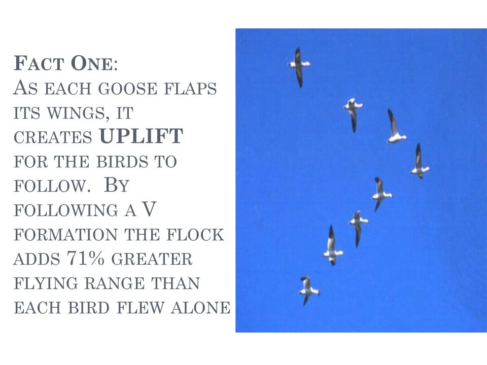 F ACT T WO : W HEN A GOOSE FALLS OUT OF FORMATION, IT SUDDENLY FEELS THE DRAG AND RESISTANCE OF FLYING ALONE.